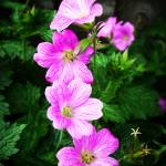 """Wild Cranesbill"" by rewards4life"