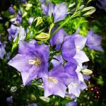 """""""Bellflowers"""" by rewards4life"""