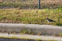 Killdeer and Young'un