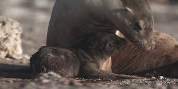 Australian sea lion mother and pup
