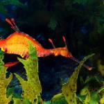 """Weedy Sea Dragon"" by Achtel"