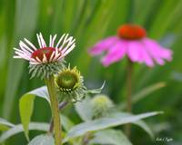 The Start and Finish of Echinacea