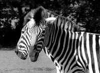 2 headed Zebra