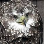 """Bateleur Eagle(Terathopius Ecaudatus)"" by andrewawk"