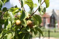 Bee Sweet Orchard Pear Tree