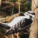 """Acrobatic woodpecker"" by tonymoran"