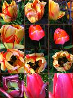 TULIP MOSAIC BY RICHARD LAZZARA