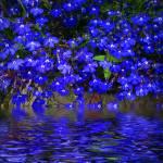 """Blue Lobelia"" by JoyceDickens"