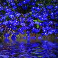 Blue Lobelia Art Prints & Posters by Joyce Dickens