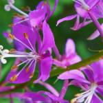"""Botanical - Alpine Fireweed - Outdoors Floral"" by artsandi"