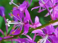 Botanical - Alpine Fireweed - Outdoors Floral