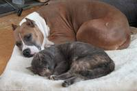 Pitbull and her kitty