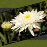 """""""Daisy Flower"""" by byStangz"""