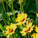 """Nature In Coreopsis Flower"" by byStangz"
