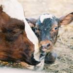 """Calf & Mama"" by NorJon"