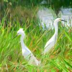 """Egret Pair"" by mdarrah"