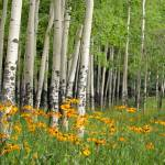 """""""Aspen Grove and Wildflower Meadow"""" by mtilghma"""