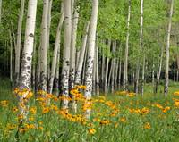 Aspen Grove and Wildflower Meadow