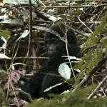 """Baby gorilla"" by missimer"