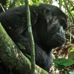 """Gorilla"" by missimer"