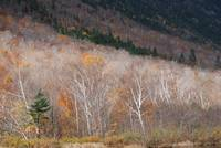 Crawford Notch Birches