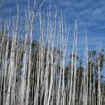 """""""White Trunks, Killed by Fire"""" by janemcdougall"""