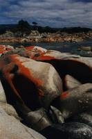 Red Lichen on Rocks by Sea