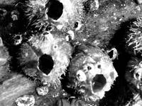 Barnacles on a tree (black and white)