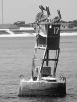 Pelicans on buoy number 17 (black and white)