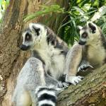 """Mother and child lemur in a tree"" by Funcards"