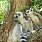 """The world is so exciting, lemur photo"" by Funcards"
