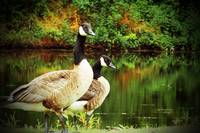 A Couple of Geese