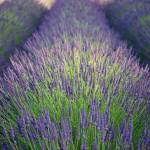 """Lavender field"" by ricktakagi"