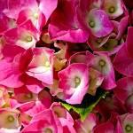 """Pink Hydrangea."" by ROBERTSCOTTPHOTOGRAPHYY"