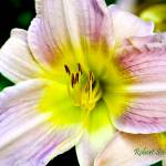 """Day Lily from the Garden."" by ROBERTSCOTTPHOTOGRAPHYY"
