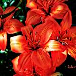 """Orange Asitatic Lilies."" by ROBERTSCOTTPHOTOGRAPHYY"