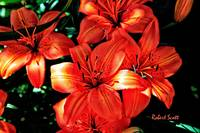 Orange Asitatic Lilies.