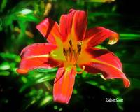 Orange Lily fron the Garden.