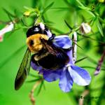 """A Bumblebee and a Flower."" by ROBERTSCOTTPHOTOGRAPHYY"