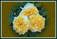 Big Fluffy Yellow Roses.