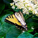 """Yellow Swallowtail Butterfly"" by ROBERTSCOTTPHOTOGRAPHYY"