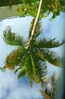 Palmtree Reflection