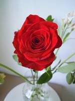 May Red Rose