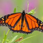 """Monarch (Danaus plexippus)"" by shelshots"