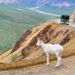 """Dall Sheep in Denali"" by BlindWolfSpirit"