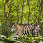 """Tiger In The Jungle"" by johnlund"