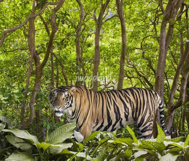 White tiger in the jungle