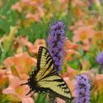 """""""Swallowtail Butterfly"""" by jodipflepsen"""