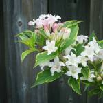 """Spring Weigela"" by nearscapes"