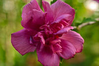 Bright Pink Rose of Sharon